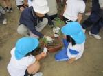 年長組は、野菜を植えました。