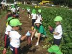 9月-芋掘り遠足